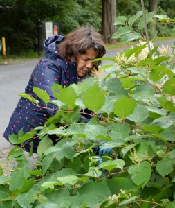 The Fight is On:  Summit Mayor Ellen Dickson Battles Knotweed