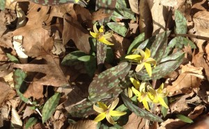 Trout lilies bloom on the trail in April 2015